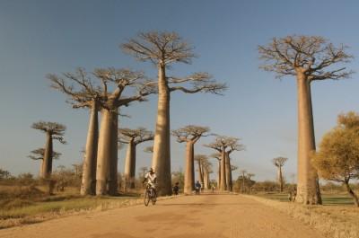 Allée de Baobabs, Madagascar