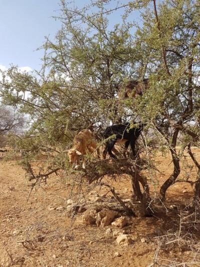 Chèvres et Arganiers