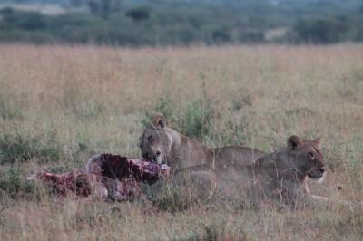 Petit dejeuner pour les lionnes, Masai Mara