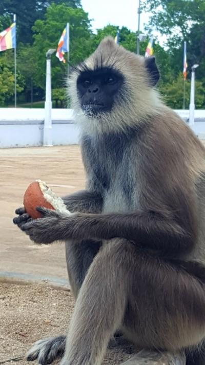 singe en liberté au Sri lanka