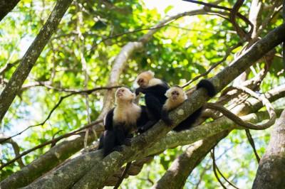 Capucins au Roatan, Honduras