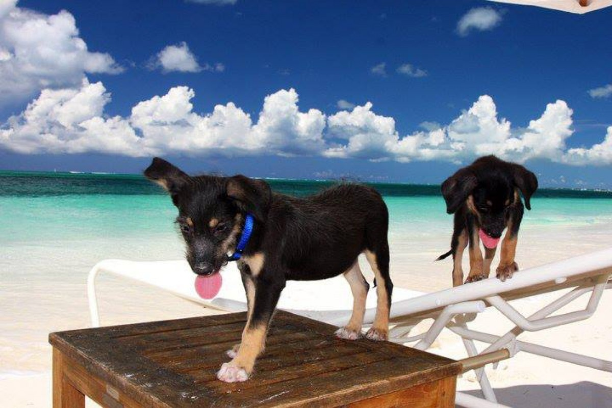 Cette île des Caraïbes a besoin de volontaires pour jouer avec ses chiens