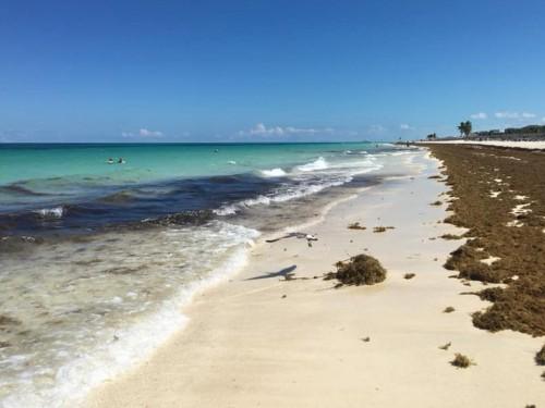 Des algues sargasses à Cayo Coco et à Cayo Santa Maria