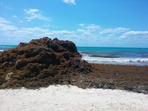 Solutions aux algues sargasses: le Mexique organisera une rencontre internationale