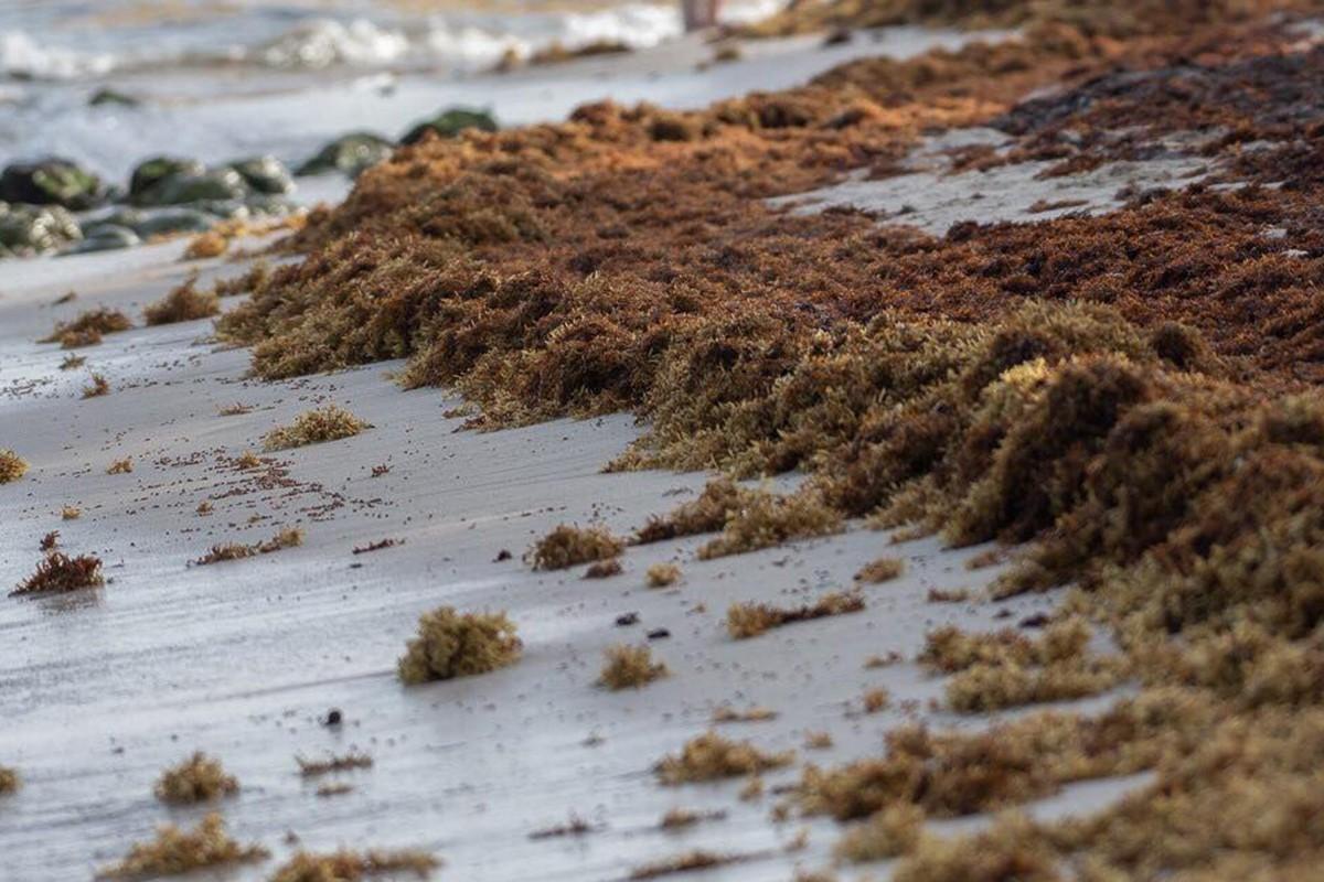 Playa del Carmen : 100 tonnes de sargasses par jour