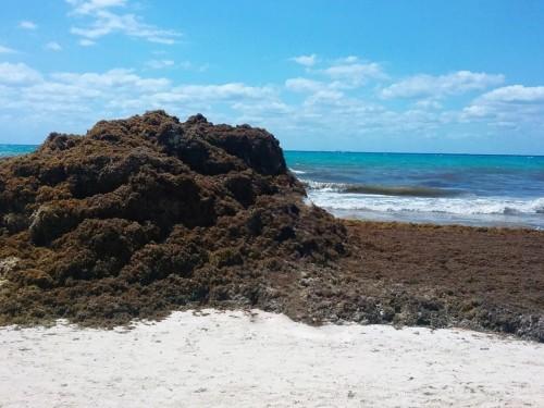 Le problème des sargasses au Mexique s'étend maintenant jusqu'en Afrique de l'Ouest