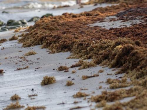 Mexique : Les hôteliers transporteront leurs clients vers des plages sans sargasses
