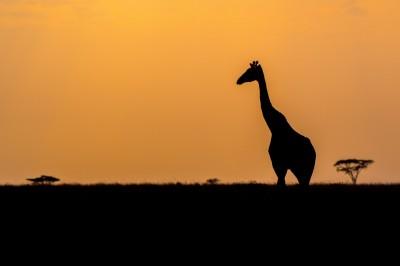 Girafe en contre jour au lever du soleil